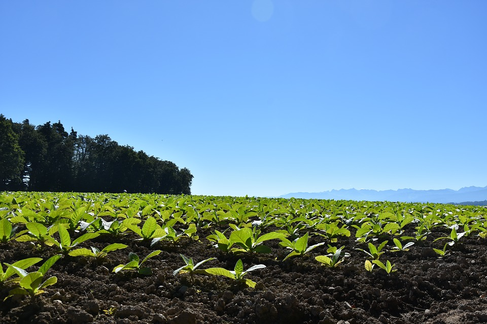 tobacco field.jpg