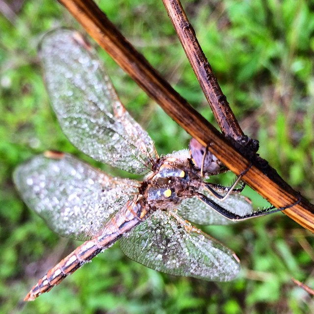 dragonfly in the dew