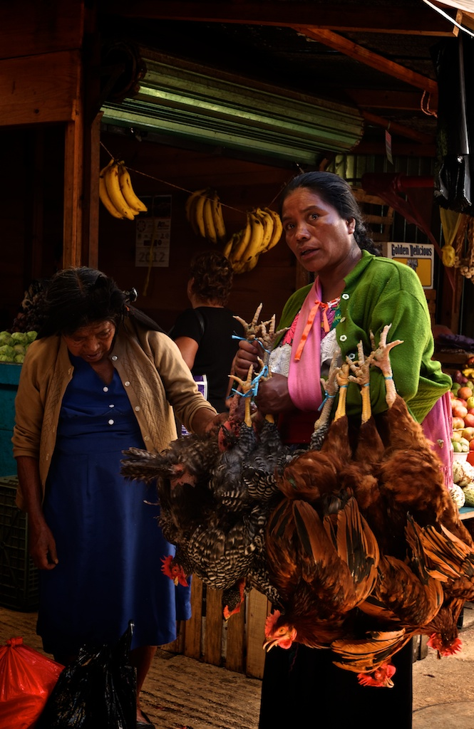 An old woman is deciding which one of the alive chickens to buy, in the market of San Cristobal de las Casas, Chiapas, Mexico