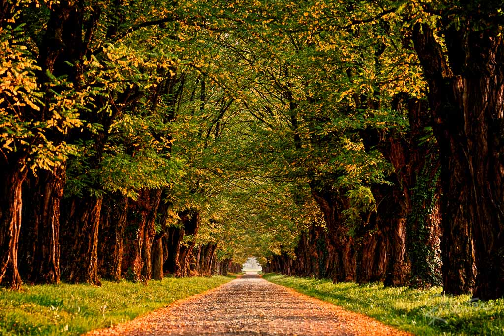 An acacia treed avenue with the Autumn colors