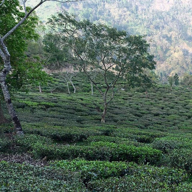Sourcing the purest and most precious Teas, somewhere in a very secluted and pristine Himalayan valley. 2017's First flush and Silver Tips.  #PUREST #finest #Tea