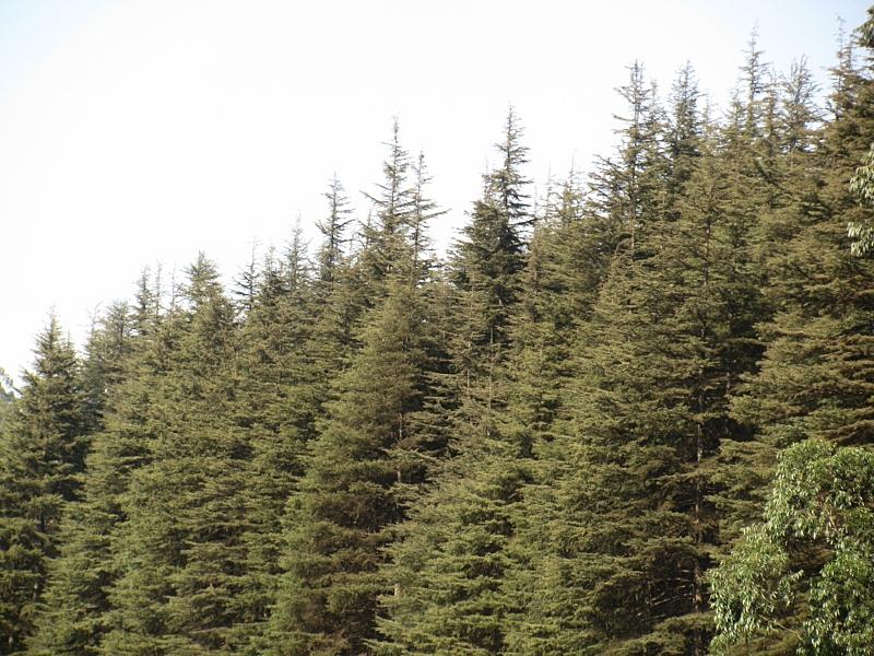 pine-shavings