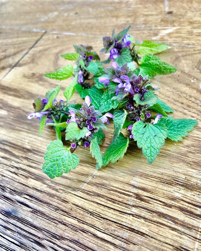 Today we picked a bunch of these beautiful purple Lamium Album also known as Dog's Mercury to be used on the menu this week. The colors of spring 😍🙌🏼 #spring #Copenhagen #foraging #nature #wildfood #pickyourown #mob #colorsofspring #gourmet #michelin #bibgourmand