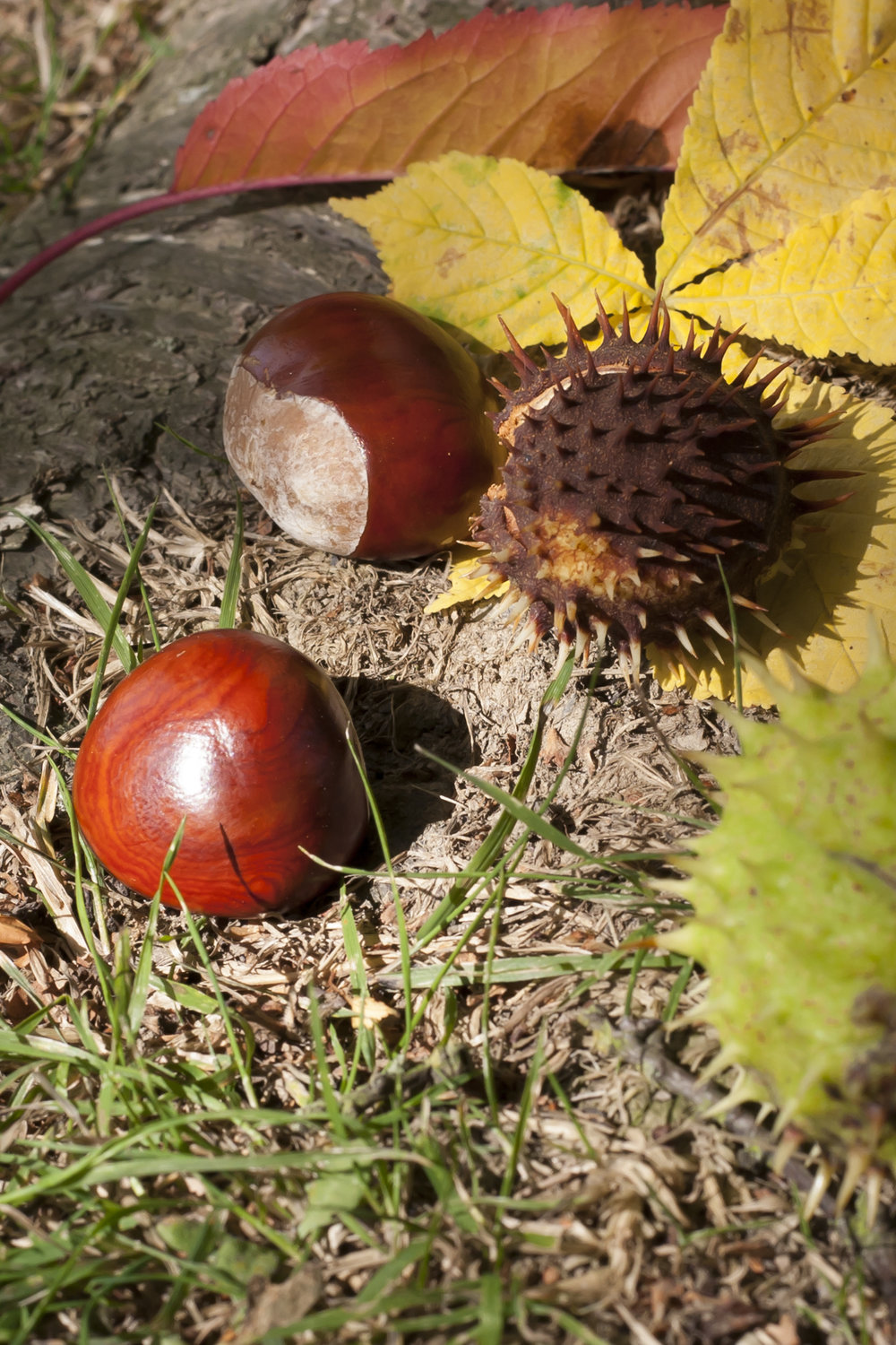 Three conkers fallen onto the forest floor amongst leaves, one conker still in its shell