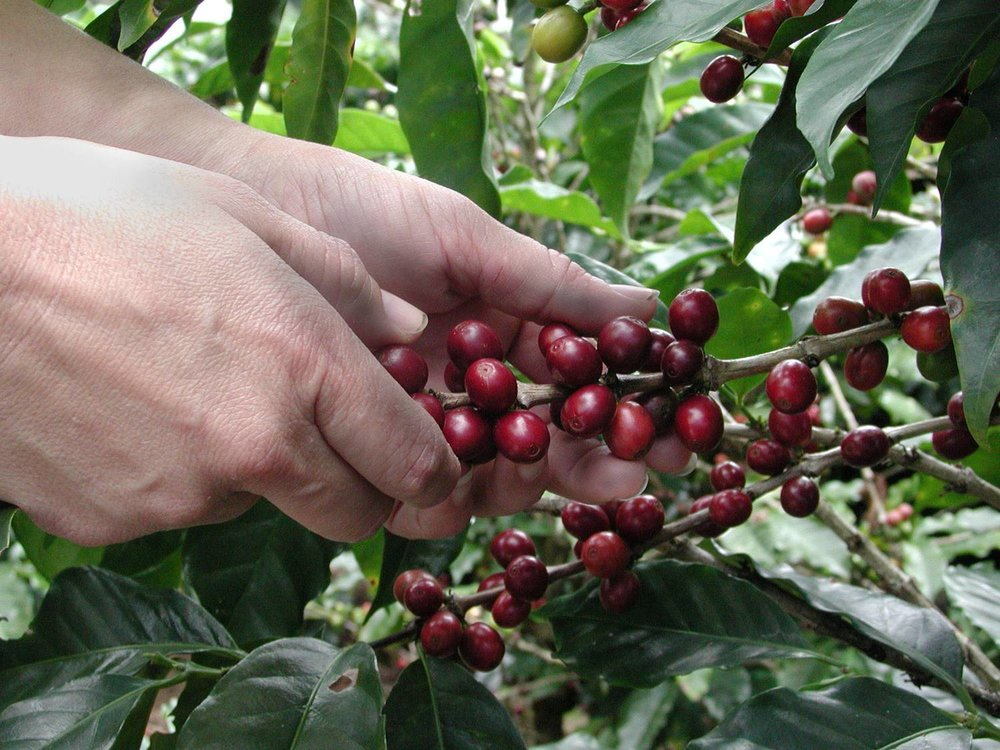 Picking coffee.jpg