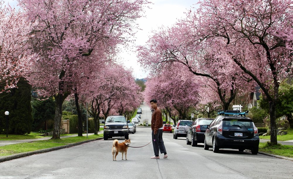 Some streets in Vancouver during spring are simply magic.