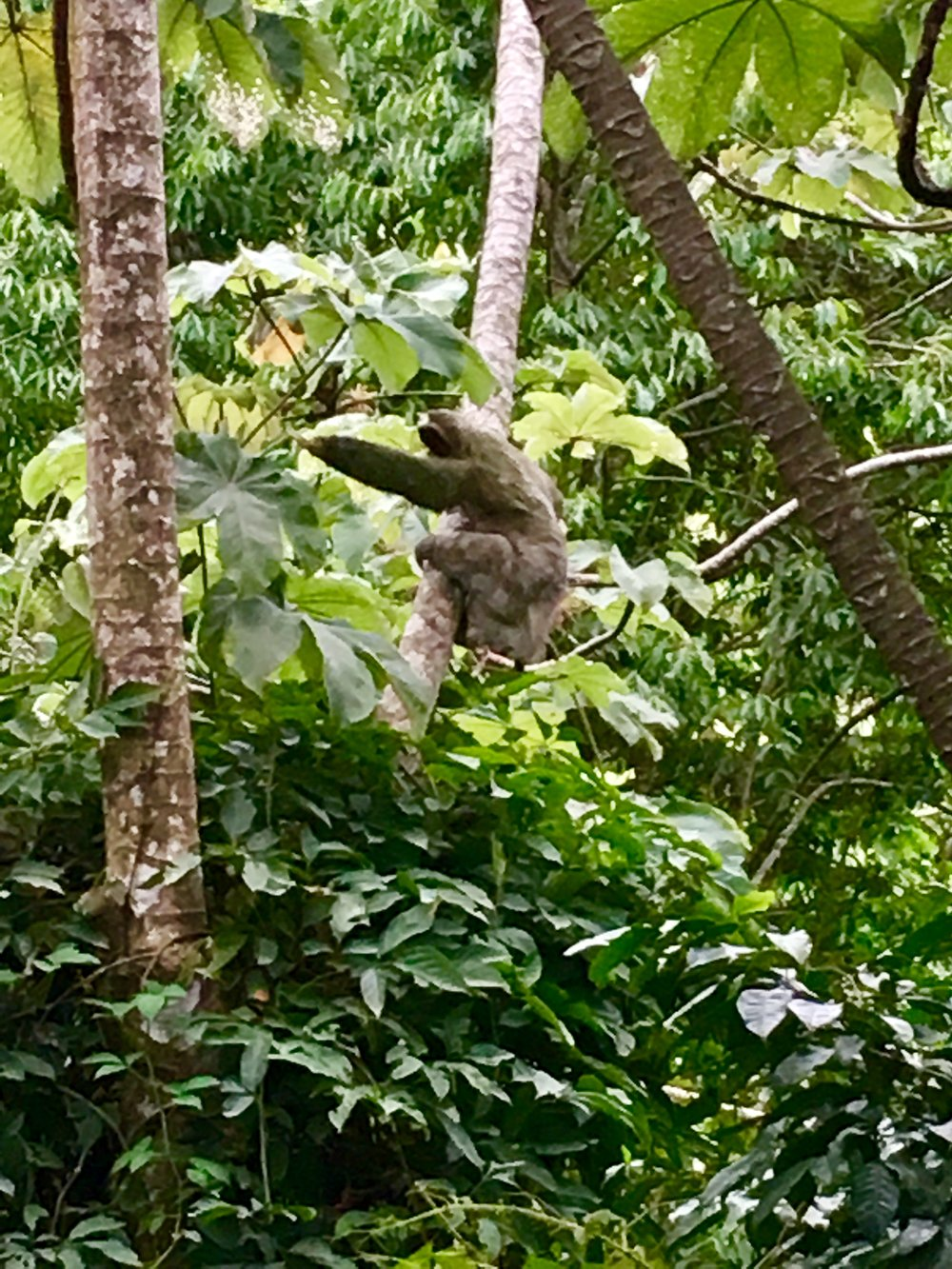 Two-toed sloth out of back deck