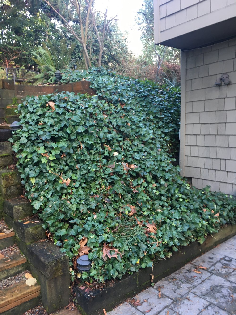 Before, a rat's nest of ivy vines...