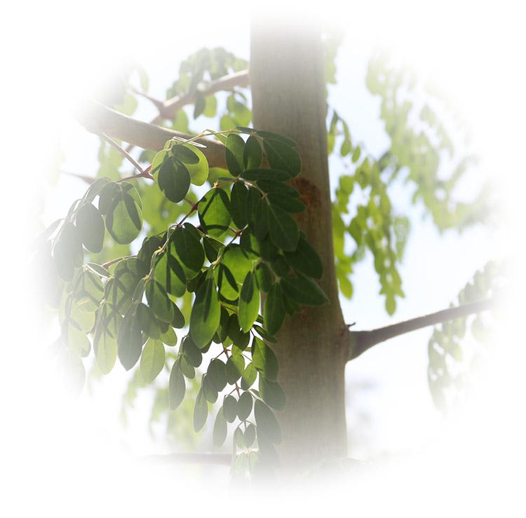 moringa-tree-750w.jpg
