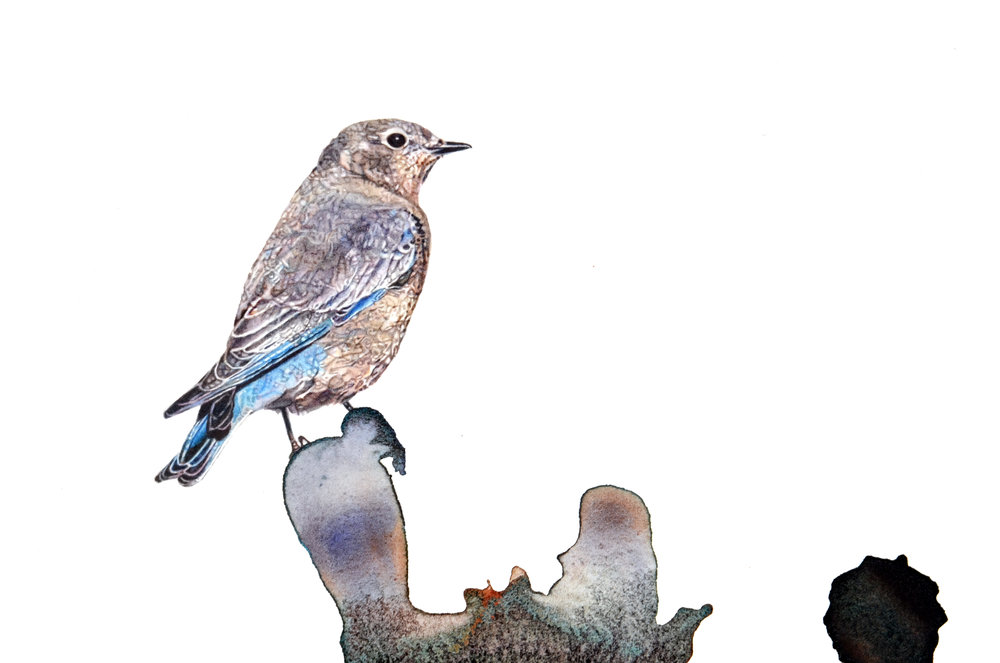 """Mountain Bluebird,"" detail"