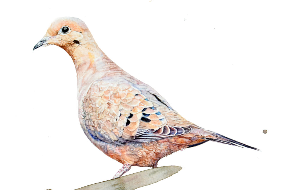 """Mourning Dove,"" detail"