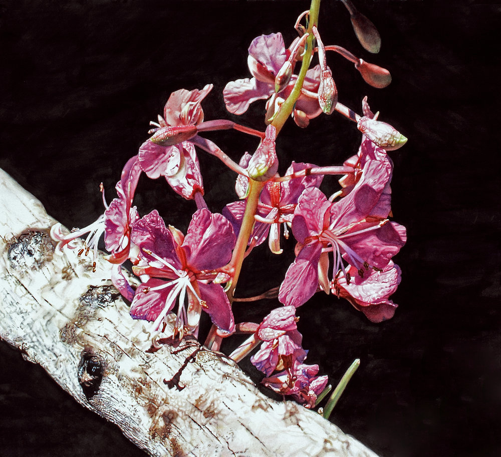 """Chamerion angustifolium,"" 14 x 16,"" watercolor on paper, SOLD"
