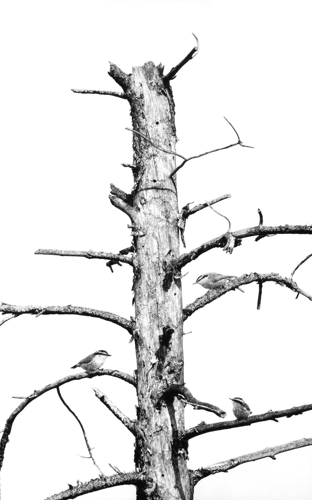 """Bleached Pine,"" 52 x 34,"" charcoal on paper, SOLD"