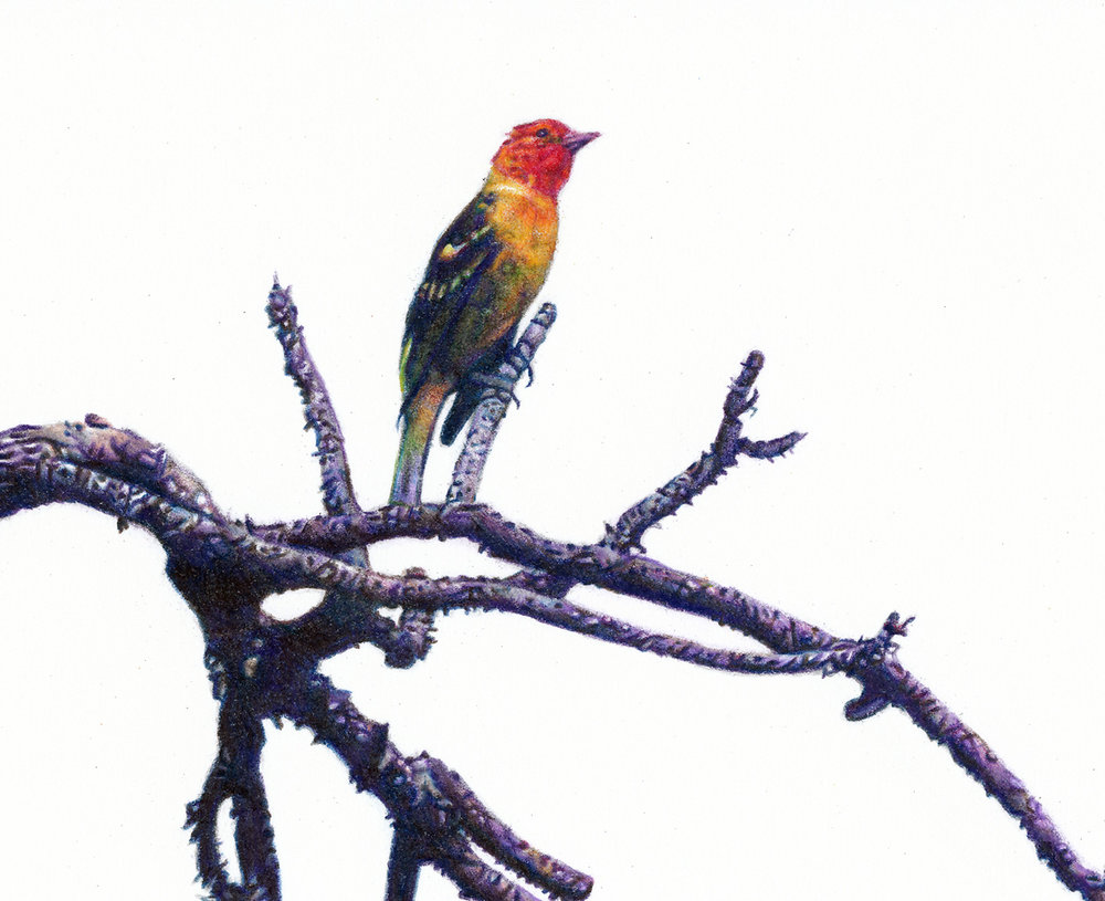 """Western Tanager,"" detail"