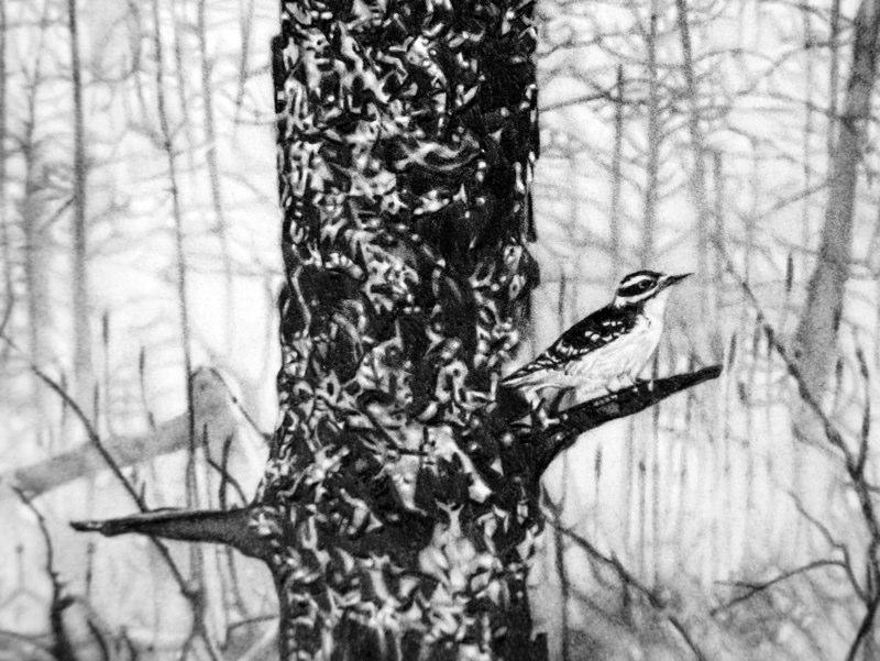 """Picoides villosus,"" detail"