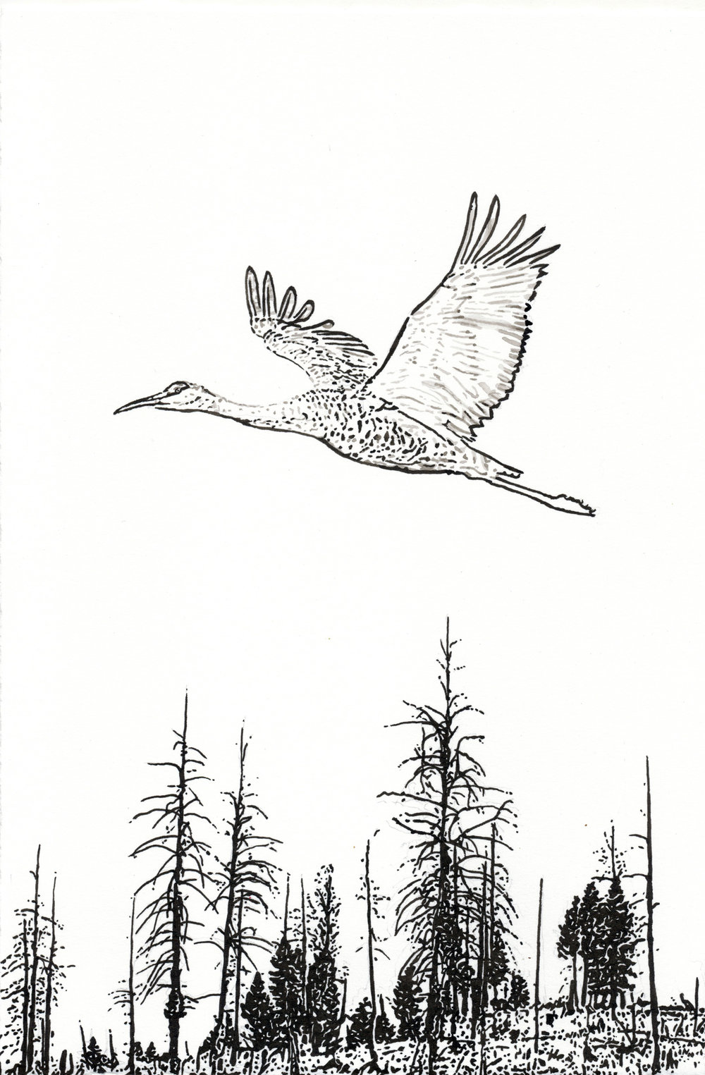 Sandhill Crane, 10.5 x 7 inches, India Ink drawing.jpeg