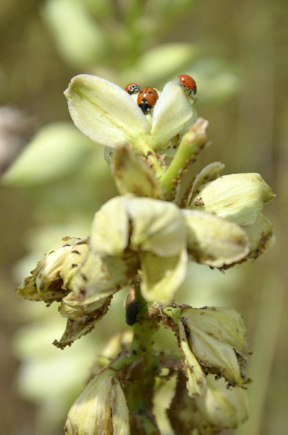 Ant, aphid, ladybug symbiosis on Yucca flower