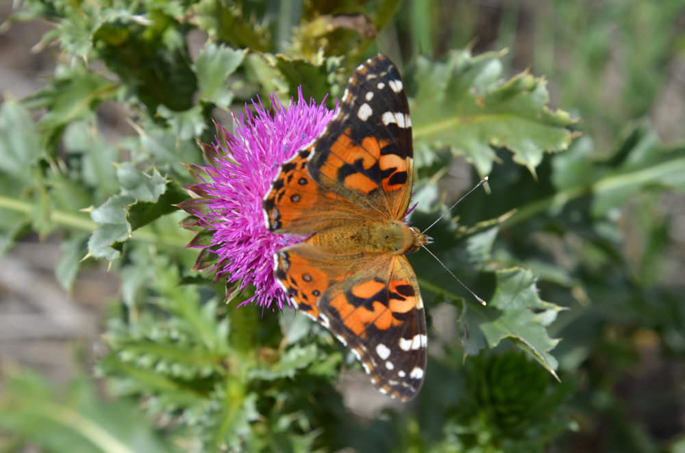 Painted lady on thistle