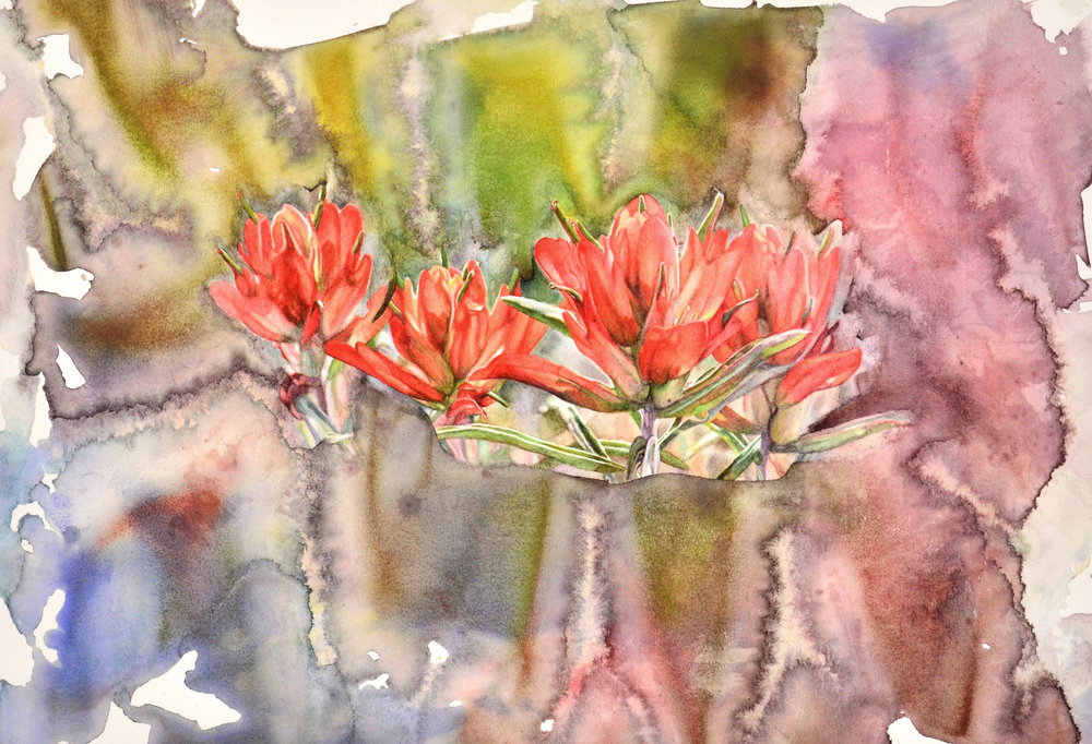 "Crimson Plume (18.5 x 26,"" watercolor on paper) features Colorado wildflower Castilleja, also known as Indian Paintbrush. This fire-tolerant plant can re-sprout from its rhizome (underground stem) and disperse its wind-carried seeds after a fire."