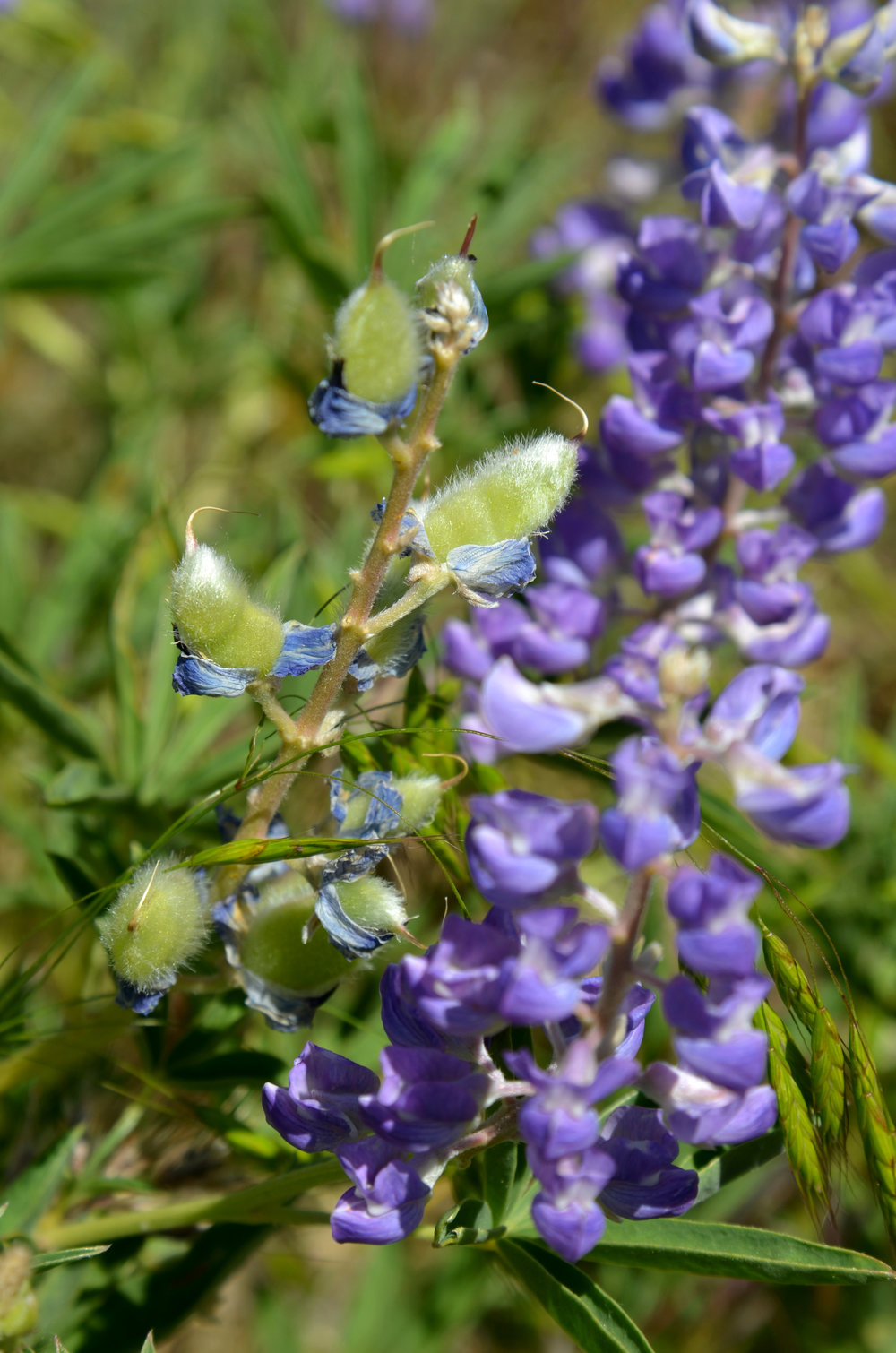 Lupine with fuzzy seed pods