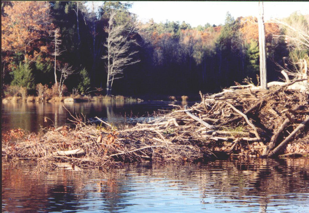 Colebrook Beaver Lodge.jpg