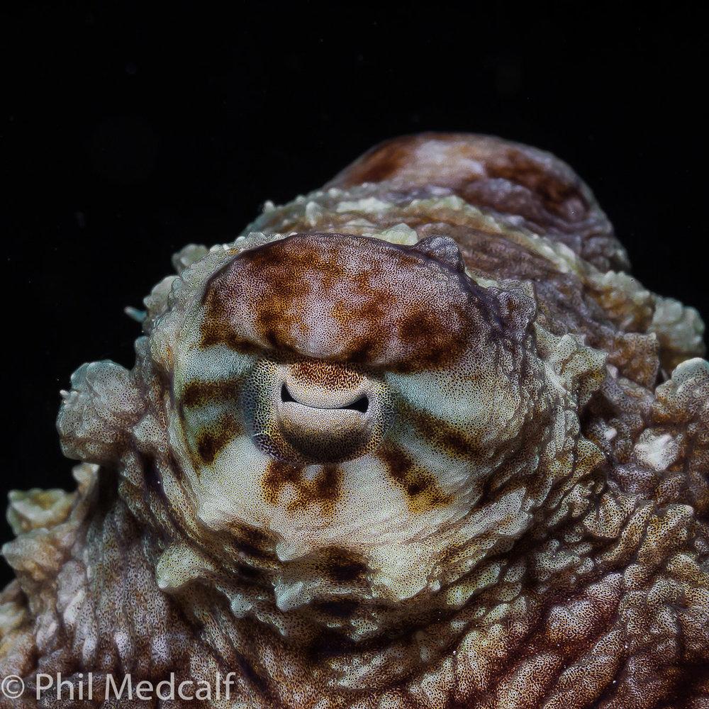 octopuseye.jpg