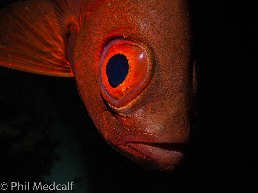 An image like this is unachievable without being able to control the camera settings. The dark red of this bigeye would make a camera on Auto adjust its exposure settings to deal with poor light. This would mean slower shutter speed than I used and wide aperture that would've given a less of the shot in focus and made the background much brighter.