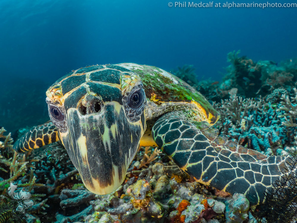 Turtles often find their reflections in domes very interesting. This is a rather scruffy, hawksbill in the Komodo National Park