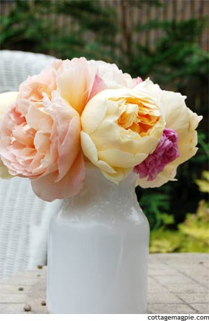 Butter and Apricot Cabbage Roses