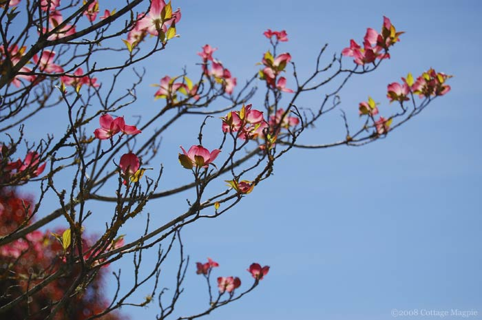 Blooming Pink Dogwood Branches