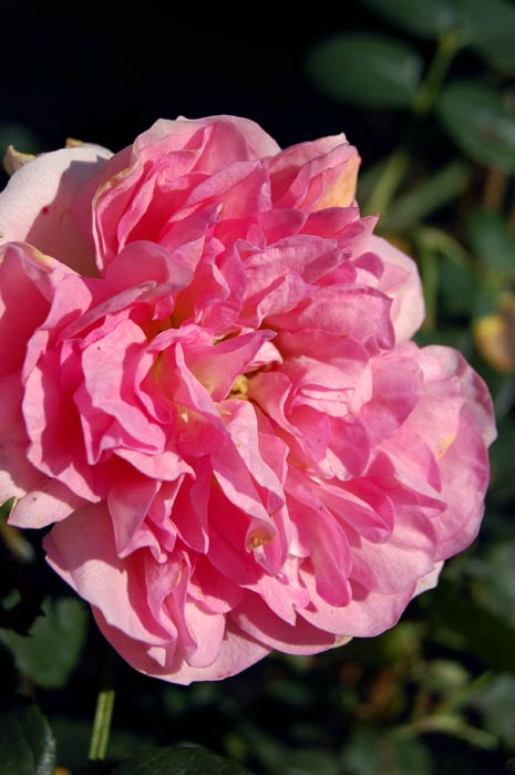 Rosa Guy de Maupassant Rose