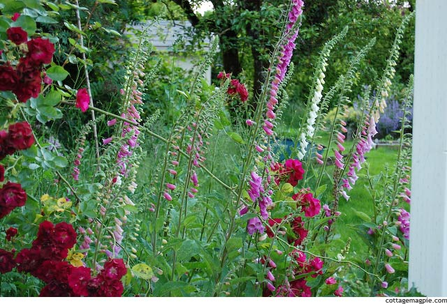 Foxgloves and Wild Roses