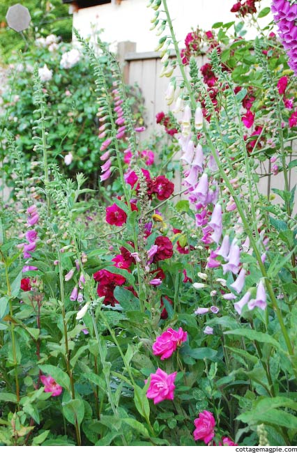 A Jumble of Roses and Foxgloves