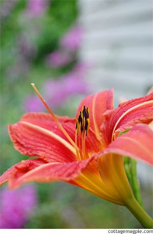 Blooming Ditch Lily