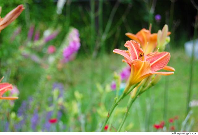 Blooms of Ditch Lilies - Hemerocallis fulva