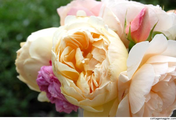 Peach and Gold Cabbage Roses