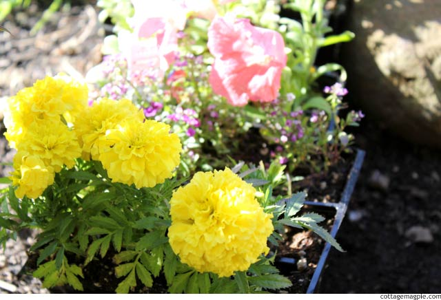 Annuals for Containers via cottagemagpie.com