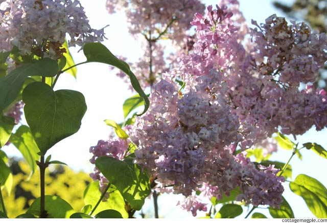 Lilac in Bloom via cottagemagpie.com