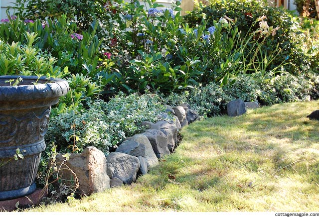Rock and Euonymous Border in Garden
