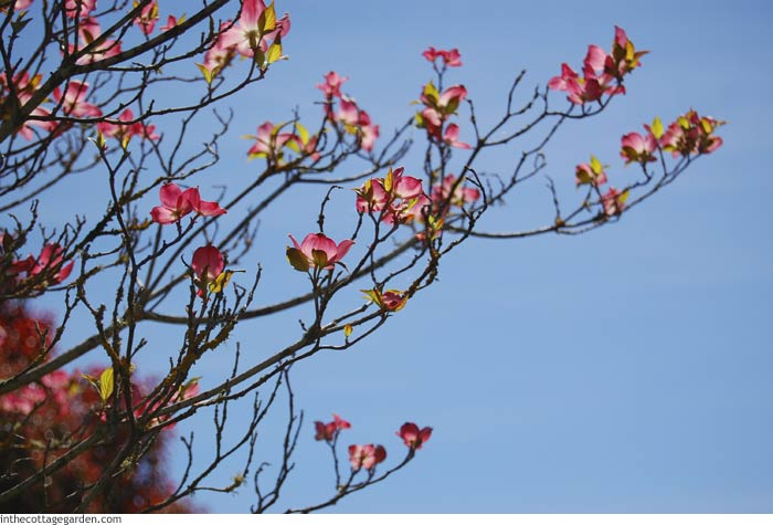 Pink Dogwood Blooming