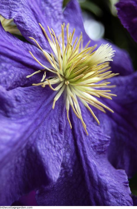 Purple Clematis Macro Close-Up