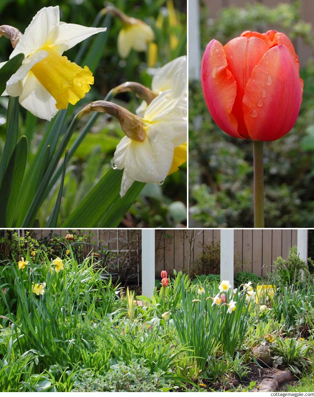 Tulips, Daffodils and Tigers via cottagemagpie.com