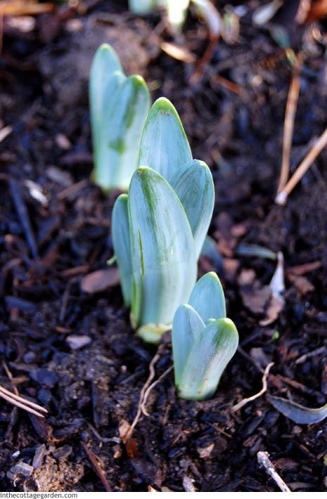 Daffodil Narcissus Tips