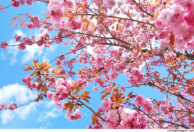the-cherry-trees-are-blooming-2013.jpg