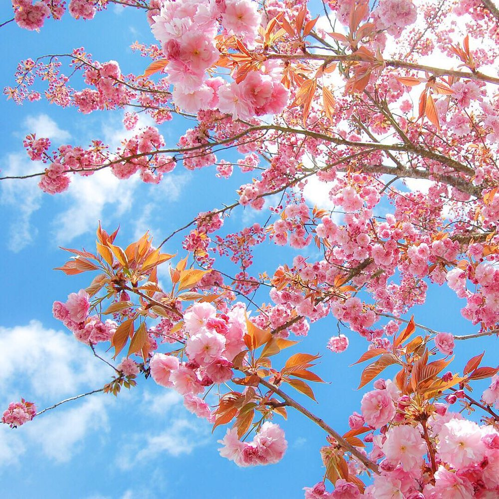 Flowering Cherry Prunus Kwanzan - via www.cottagemagpie.com