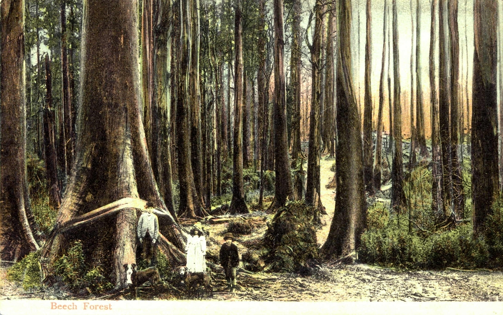 Beech Forest 1907.jpg