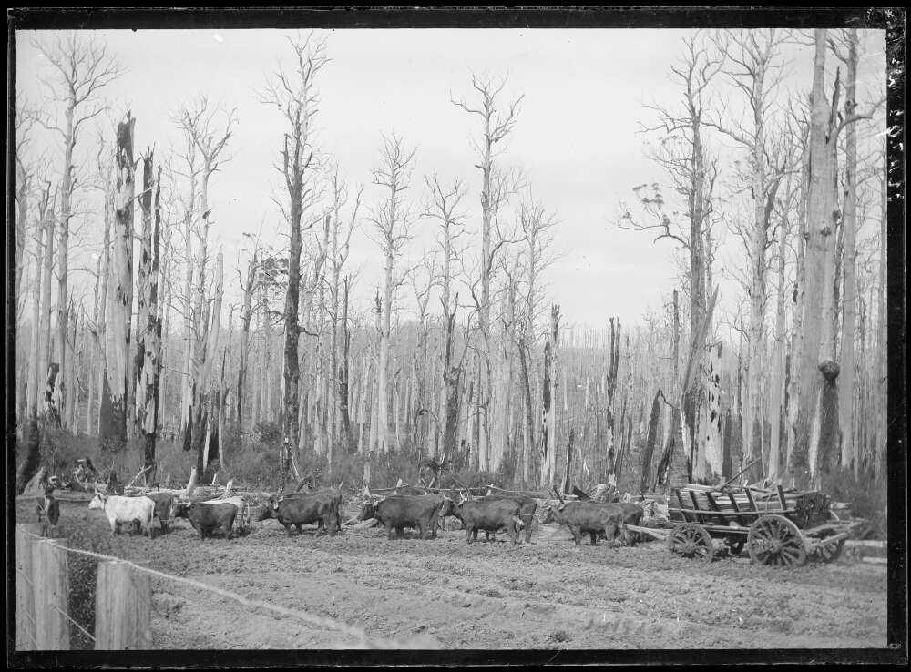 Split timbers being transported by bullock team to the Beech Forest railway station, Beech Forest, Victoria, approximately 1903 - John Flynn.jpg