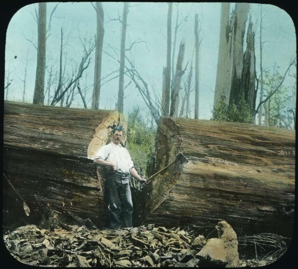 Tree felled in Beech Forest, 7ft. diameter and 400 ft. length [transparency]. part of scenes in the Otway Ranges region of Victoria, taken between 1912-1914.jpg