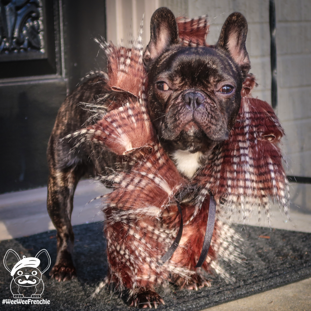 last minute halloween costume ideas for your dog — wee wee frenchie