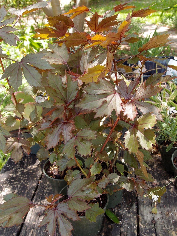 Hibiscus Mahogany Splendor Good Leaf Nursery